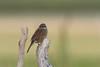 Heckenbraunelle (-Frank S-) Tags: heckenbraunelle vögel birds wildlife prunella modularis