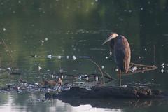 heron (avflinsch) Tags: ifttt 500px lake water bird nature log fishing