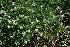 Cakile maritima, EUROPEAN SEA ROCKET* (openspacer) Tags: beach brassicaceae cakile nonnative searocket