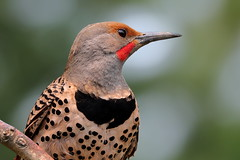 Northern Flicker, Red-shafted, Male (brian.bemmels) Tags: colaptesauratus colaptes auratus northernflicker redshafted male flicker portrait backyardbirds richmond bc britishcolumbia canada backyard nature outdoors wildlife bird