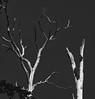 Weathered Trees (Dalliance with Light (Andy Farmer)) Tags: dried trees weathered bleached bw leicateleelmarit90mmf28 sere dead landscape nature rutgersgardens