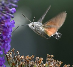 Hummingbird Hawkmoth (Carl Bovis Nature Photography) Tags: hummingbirdhawkmoth hawkmoth moth insect bug macro inflight flying flight fly eye wings hovering hover nature somerset springwatch somersetlevels england uk carlbovisnaturephotography bbcspringwatch wildlife