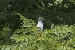 YELLOW-BILLED CUCKOO (nsxbirder) Tags: yellowbilledcuckoo coccyzusamericanus huestonwoods oxford ohio preblecounty