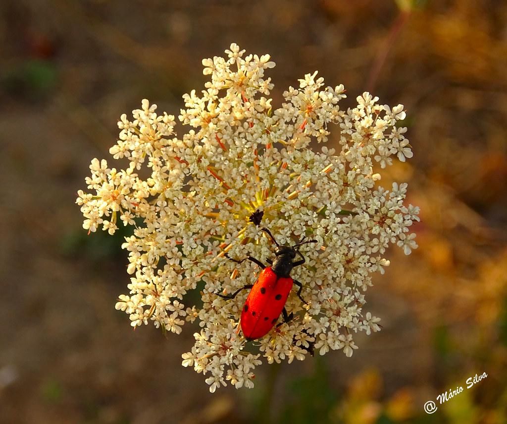 Águas Frias (Chaves) - ... flor campestre e o inseto ...