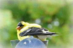 American Goldfinch (Through Serena's Lens) Tags: window avian closeup perched male nature bokeh bird goldfinch americangoldfinch