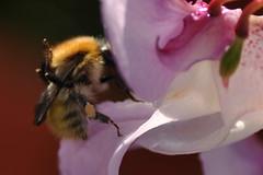 disengaging! (werewegian) Tags: werewegian aug17 garden gourock flower fence bee insect macro pollen worker