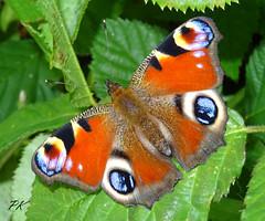 Peacock (Paul Knapper) Tags: peacockbutterfly butterfly butterflies beauty beautiful inachisio sonyhx60v pk bbcspringwatch 2017 august