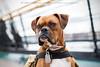 Midas Portrait (adventuredogphoto) Tags: dog faithful companion loyal dogphotography workingdog servicedog dogphotographer boston ussconstitution massachusetts boxer professionaldogphotography commercialdogphotography