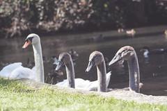Swanning Along. (AlishaDotnoggins) Tags: waterfowl ducks swans pond kearsney abbey dover family birds outside sunny summer england