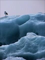 Lonely seagull... (mau_tweety) Tags: austurland isl iceland jökulsárlón seagull gabbiano ghiaccio ice