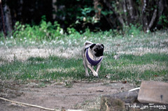 Oregon0817-08 (TrishaLyn) Tags: oregon elmira dogs animals pugs fawnpug pixel pixelpugprincess