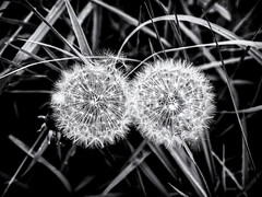 Two Dandelions (Feldore) Tags: strangford dandelions two minimal structure nature flower northern ireland irish em1 olympus 1240mm