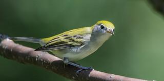 Paruline à flanc marron (juvénile)  -  Chesnut-sided Warbler