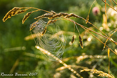 conspicuous (RCB4J) Tags: ayrshire jakob loudonhill rcb4j ronniebarron scotland sonyslta77v art babygrace dogs photography play playing running siameselurcher trailhound bokeh web spider contrejour hss happysliderssunday naturethroughthelens