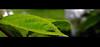 Staying healthy : Nature  [First Macro monday] (TARmAdAmA) Tags: greenbeast garten makro fujix100macro 23mmmacro kleve insekt fancyinsekt newtomacro grünesungeheuervonlockgulli fujix100new fuji colors newphotographer newtoflickr macromonday blatt rhododendronzikade