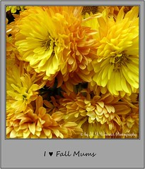 Chrysanthemum 09 (Michael J. Woerner) Tags: november fallmums asteraceae chrysanths autumcolors postermums chrysanthemum autumflower