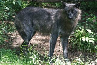 Grey Wolf - Adult