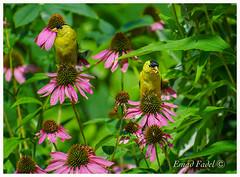 Goldfinsh-feeding-on-Echinacea (fadelemad324) Tags: bird birds beauty beautiful branches branch goldfinch yellow echinea ottawa canada green nature nikon nik nikond7000 d7000 dslr digital
