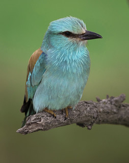 Female European Roller