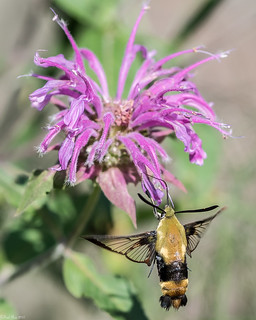 Snowberry Clearwing [Hemaris diffinis]