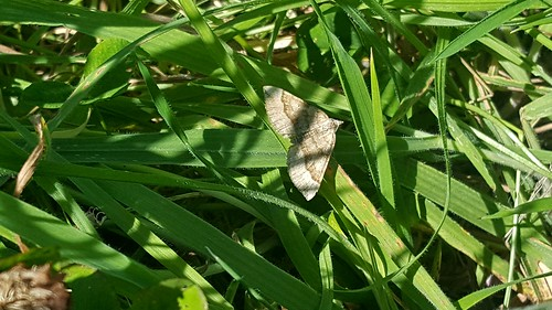 20170827_140548 Shaded Broad-bar Moth ST0466