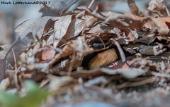 Northern Copperhead (Lotterhand) Tags: copperhead