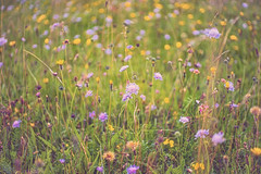 down amongst the flowers ... (HHH Honey) Tags: sonya7rii minolta minolta50mm minolta50mmf28macro wiltshire wildflowers salisburyplain grasses scabious dandelions sanfoin centaurea