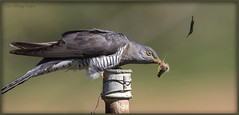 _7816 Cuckoo (Dave @ Catchlight Images) Tags: nature wildlife islands island greece limnos aegean oceanic migration spring cuckoo birds