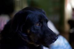 DSC07468 (MrApplegate713) Tags: smcpentaxm50mmf17 sonya7 pentax flatcoatedretriever germanshepherdmix dog