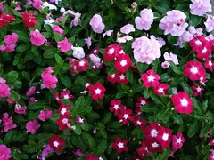 vinca, healthy......2017-08-23 (wintersoul1) Tags: flowers vinca garden plants beauty