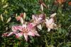 DSC_2699 (sir.yoga) Tags: flowers easternsiberia russia bratsk