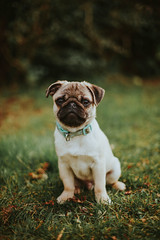 Myles :) (*DollyLove*) Tags: pug puppy pup dog bokeh canon 5d mkii garden love cute 50mm 14 niftyfifty summer portrait