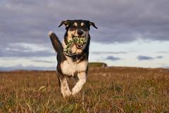 2july_Venus-Patterson-Sunset_036 (Stefán H. Kristinsson) Tags: venus dog sunset reykjanes iceland nikond800 tamron2875mm