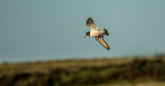 Oystercatcher (hharry884) Tags: flight wildlife water outdoors nature bird photography brown birds wild