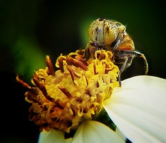 Insect (tanreineer) Tags: petals pollen eat flower insect bee fly
