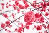 Pink sakura (..ChEn..) Tags: nature plant flower sakura cherry bloom blossom efflorescence fervently pink many up taiwan