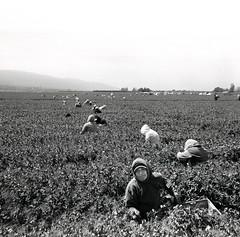 Salinas Valley, California (Dave Glass . foto) Tags: gonzalescalifornia california montereycounty salinasvalley steinbeckcountry farmworkers peapickers peas farm unitedfarmworkersunion ufw hispanicamericans kodaktrix zeissikonikontab mediumformat 6x6