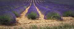 Champs de lavandes à Valensole (Missfujii) Tags: lavande nature champs valensole provence
