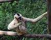 2017 Melbourne Zoo: White Cheeked Gibbon #1 (dominotic) Tags: 2017 melbournezoo royalmelbournezoologicalgardens animals victoria australia primate whitecheekedgibbon