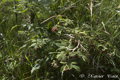 Rubus idaeus (Xavier Caré) Tags: bagolino cerreto ita italie lombardia rubus idaeus framboise framboisier montagne