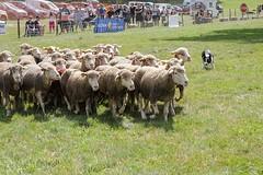 Concours des chiens de berger, Ségur 2017, Aveyron (lyli12) Tags: mouton brebis herbivore chien élevage agriculture aveyron france nikon troupeau