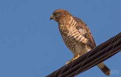 Petite Buse // Broad-winged Hawk (Alexandre Légaré) Tags: nikon d3200 petitebuse broadwingedhawk buteoplatyterus oiseau bird hawk rapace wildlife animal