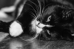 Freyja (Dóra B.) Tags: dorabirgismyndphotocanonicelanddora birgis cat bw freyja black white animal pet cute small good nice lovely whiskers eye tired table mine kisa köttur gæludýr