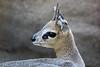 Spring In Its Step (greekgal.esm) Tags: klipspringer africankopje kopje animal mammal sandiegozoo sdzoo sandiegozooglobal sdzglobal sandiego sony rx10m3 rx10iii antelope africarocks africa rocks
