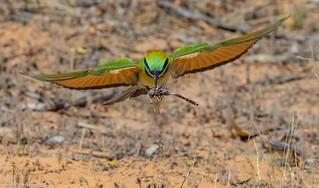 Rainbow bee- eater