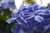 Blue morning surprise (C-Smooth) Tags: plumbago flowers blue bokeh beauty nature botanical fiori floral macro closeup colour light morning surprise v2 stefanocabello