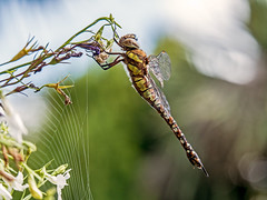 Dragonfly (niloc's pic's) Tags: dragonfly migranthawker aeshnamixta insect bexhillonsea eastsussex panasonic lumix dmcgh4r