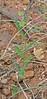 CAE005983a (jerryoldenettel) Tags: 170917 2017 darkmilkwort fabales grantco nm polygala polygalaobscura polygalaceae rosids velvetseedmilkwort velvetseedmilkwortatblackhawkcanyon wildflower flower milkwort