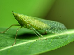 Creature of Planet Green (Explore) (tomquah) Tags: mmos macros canon canoneos5d ef100mm green insects tomquah explore