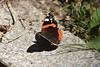 Vanessa atalanta (esta_ahi) Tags: montseny vanessa atalanta vanessaatalanta mariposa papallona butterfly lepidoptera insectos fauna nymphalidae nymphalinae nymphalini vallèsoriental barcelona spain españa испания